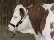 Cow Halter with Chin Chain