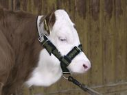 Cattle Halter (7)