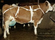 Udder Protection with Neck Strap