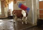 Cow Cleaning Machine HAPPYCOW Swing