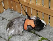 Rodent Harness Sport